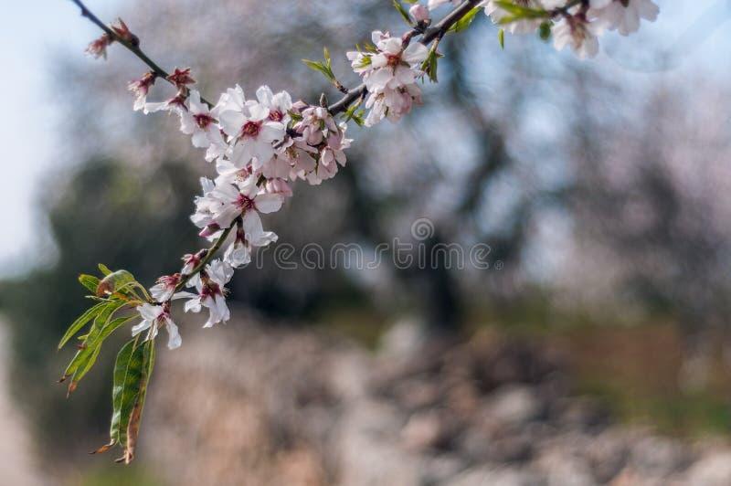 Die Mandelblüte stockfotografie