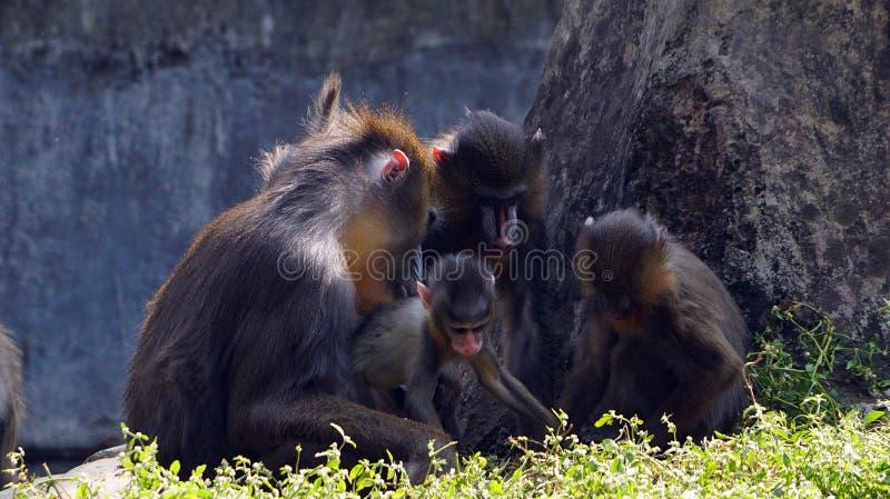 Die Mandrillfamilie! stockbild