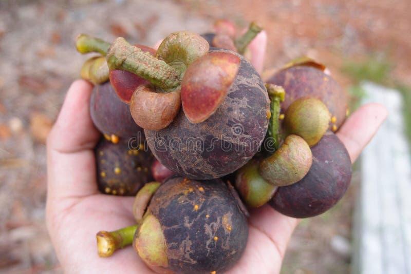 Die Mangostanfrüchte lizenzfreie stockfotografie