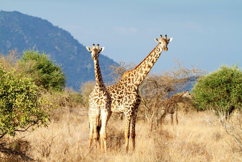 Die Masai-Giraffe lizenzfreie stockfotografie
