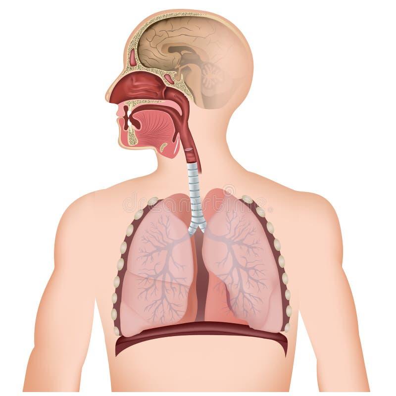 Die medizinische Illustration der Atemwege auf weißem Hintergrund lizenzfreie abbildung