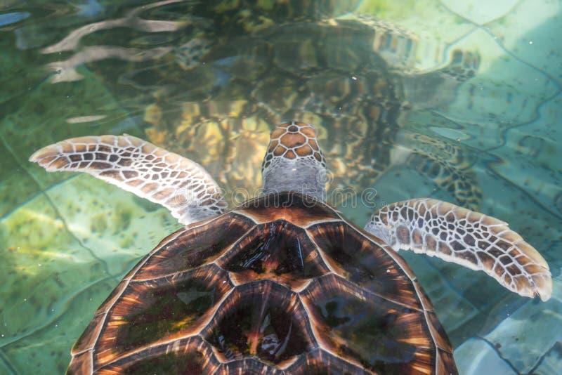 Die Meeresschildkröte schwimmt im Behandlungspool für Erhaltung stockfoto