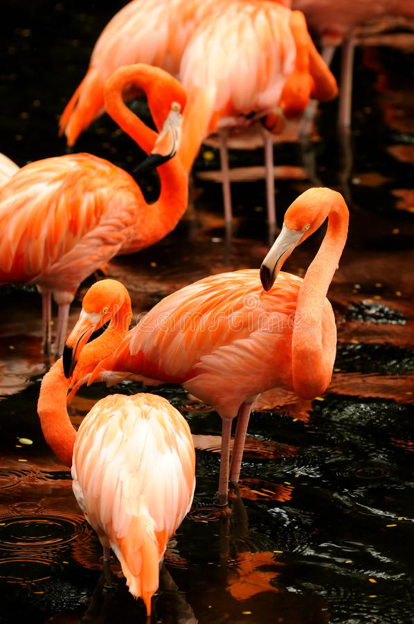 Die Menge des rosafarbenen Flamingos lizenzfreies stockfoto