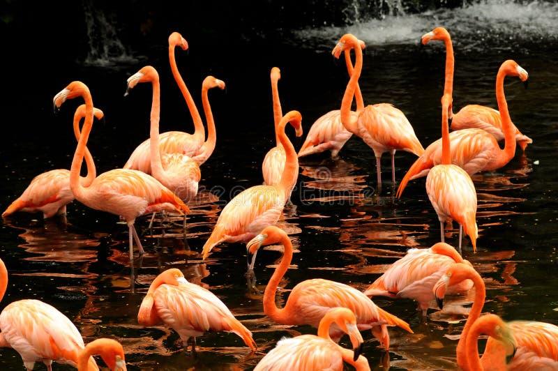 Die Menge des rosafarbenen Flamingos stockfotografie