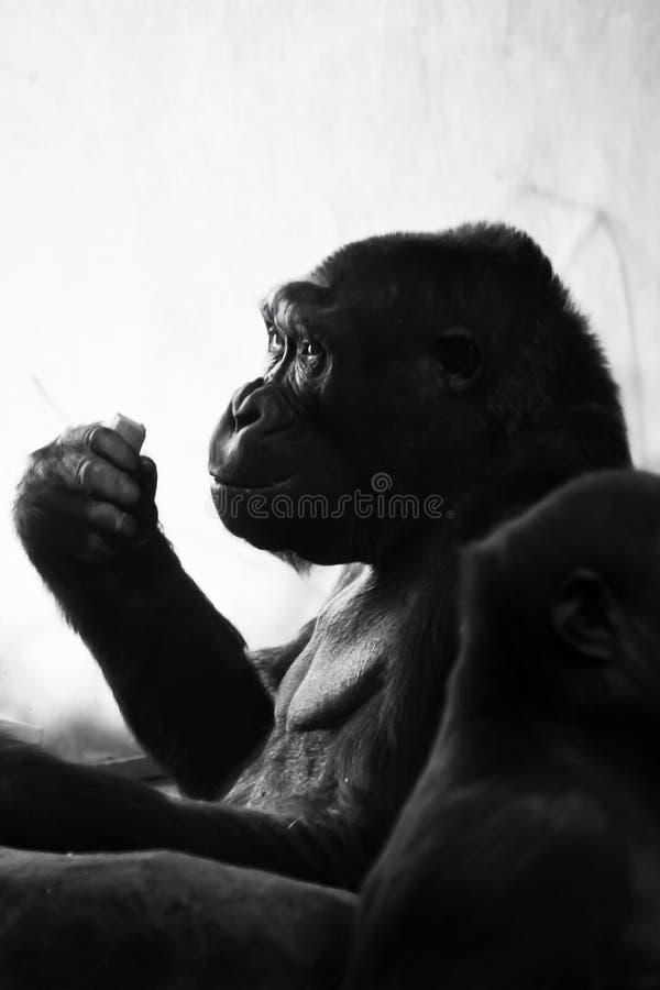 Die Menschenaffegorillafrau sitzt im Rücklicht, und etwas in ihrer Hand hält einen nachdenklichen anthropomorphen Ausdruck und stockfoto