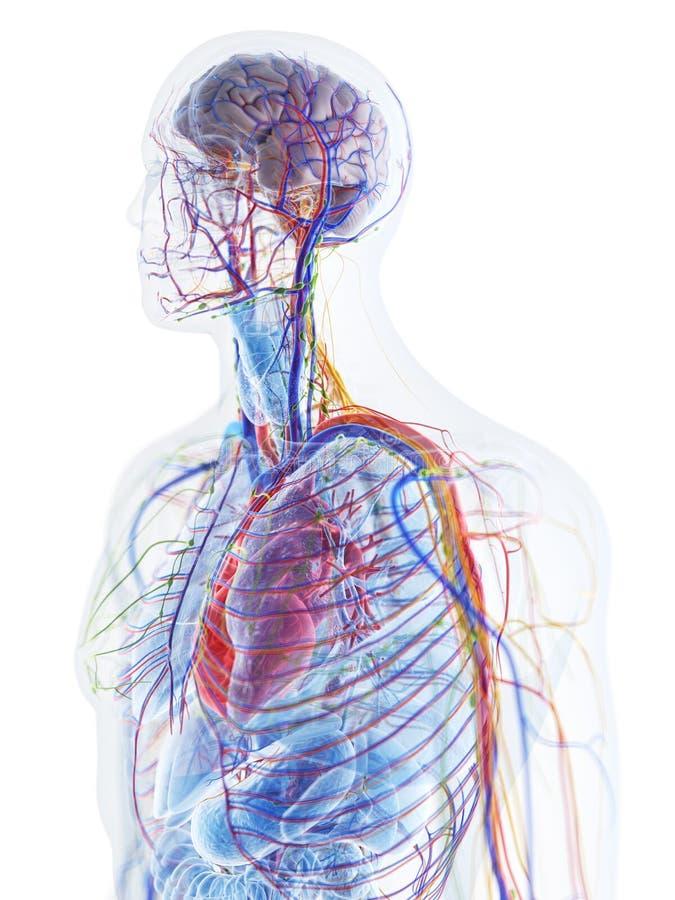 die menschliche Anatomie lizenzfreie abbildung