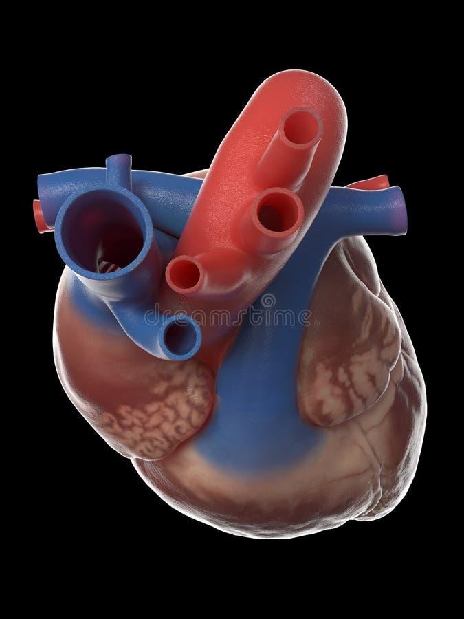 Die menschliche Herzanatomie lizenzfreie abbildung