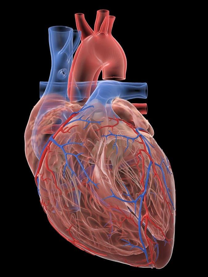 Die menschliche Herzanatomie stock abbildung