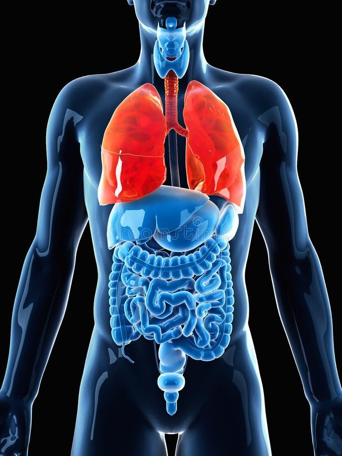 Die menschliche Lunge stock abbildung. Illustration von reflexion ...