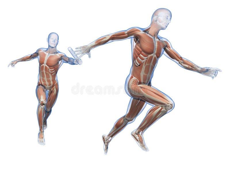 Die menschliche Muskulatur vektor abbildung