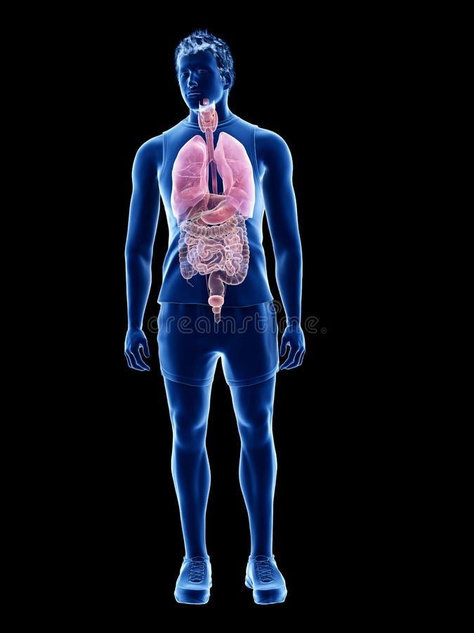 Die menschlichen Organe lizenzfreie abbildung