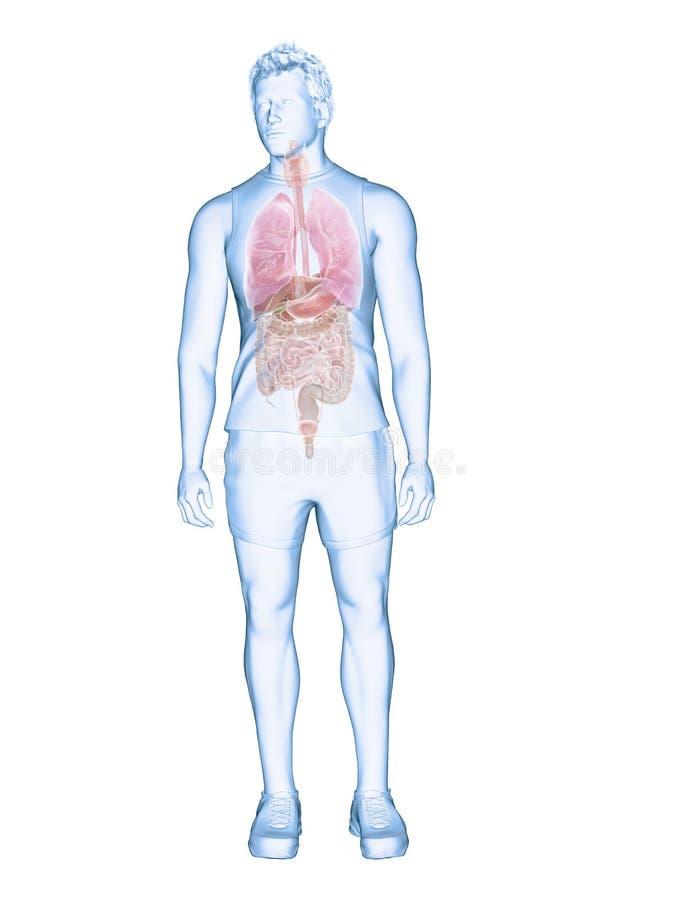 Die menschlichen Organe stock abbildung