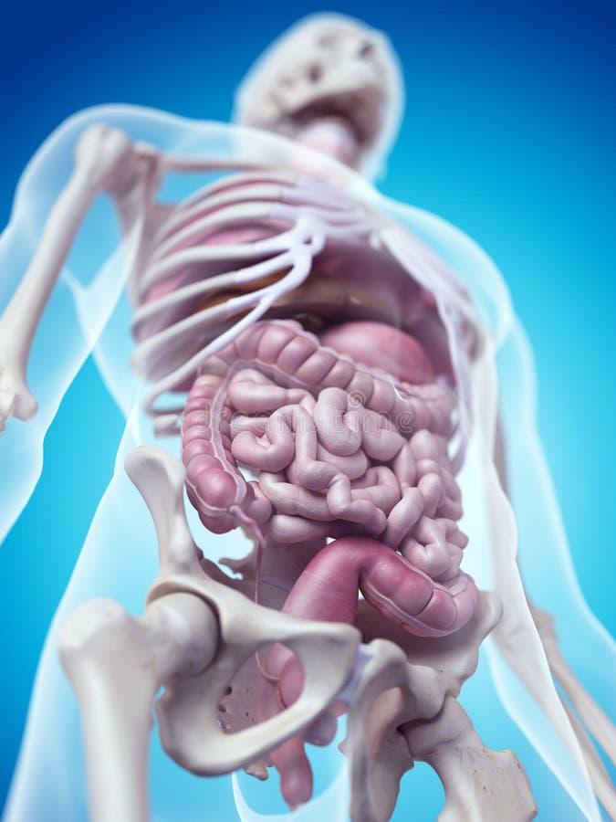 Die menschlichen Organe stock abbildung. Illustration von frontal ...