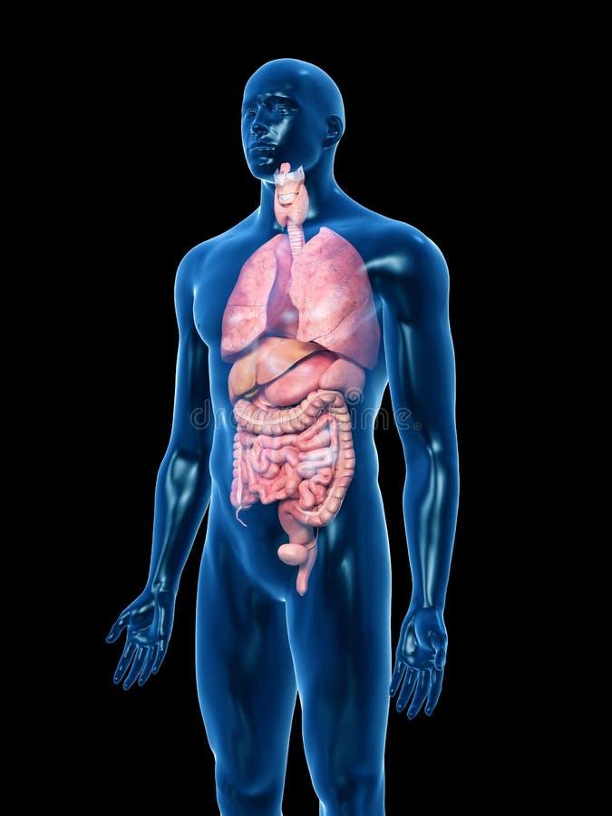 Die menschlichen Organe stock abbildung. Illustration von organisch ...