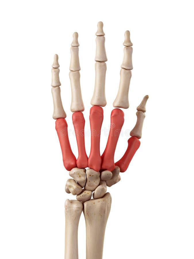 Die metacarpal Knochen stock abbildung. Illustration von hinter ...