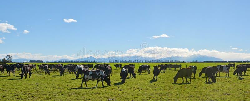 Die Milchwirtschaft auf Canterbury Plains Panorama lizenzfreies stockbild
