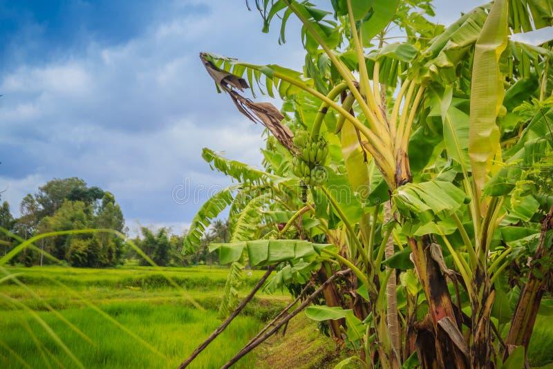 Die Mischlandwirtschaft, indem sie Bananenstauden auf den Reisgebieten pflanzt, ist agricul stockfotos