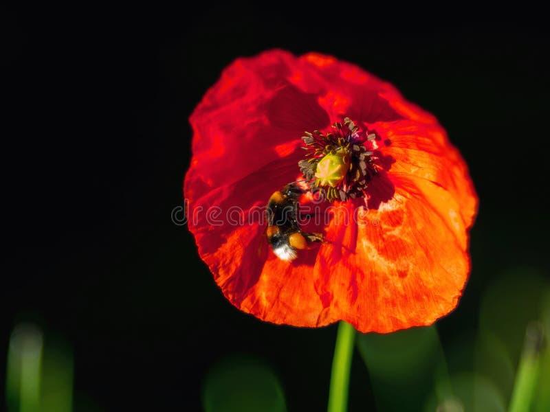 Die Mohnblume und die Biene lizenzfreies stockfoto
