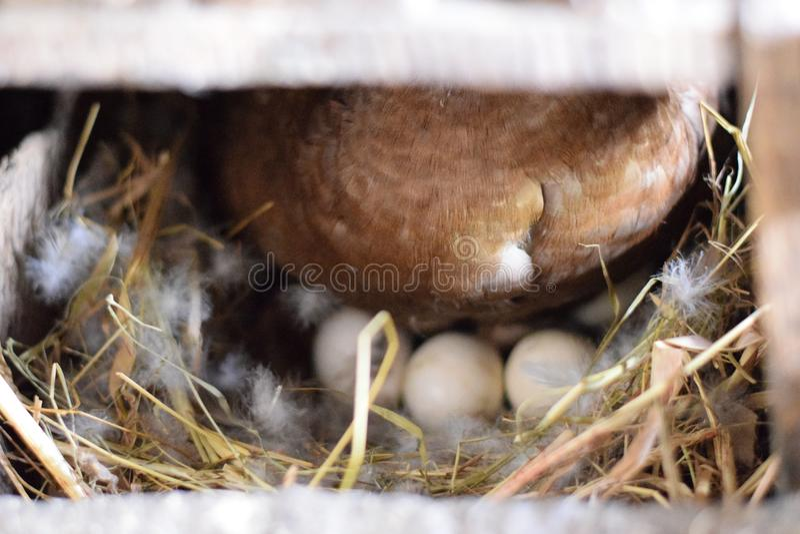 Die moschusartige Ente stockfotos