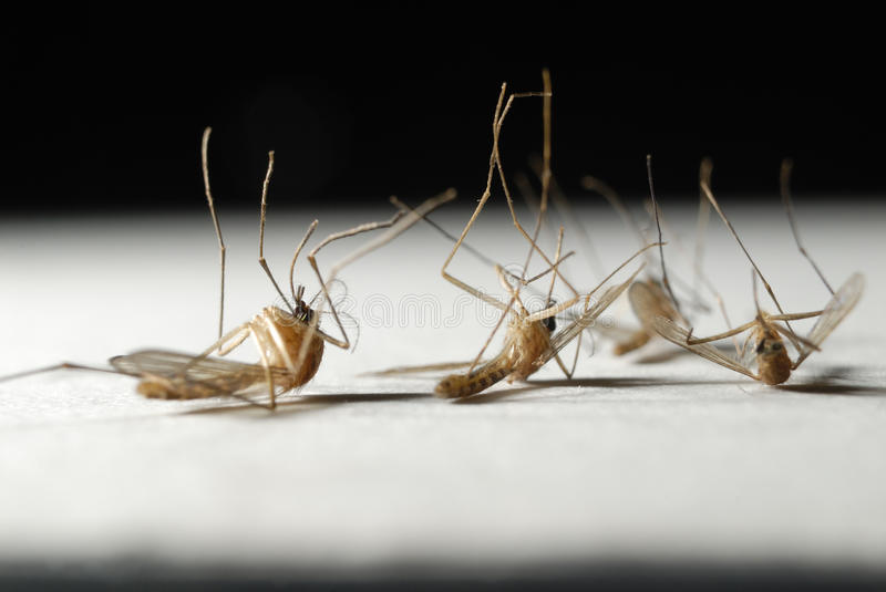 Download Die mosquitoes stock photo. Image of mosquito, insect - 14716222