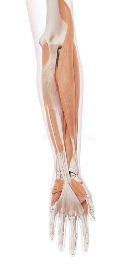 Die Muskeln des unteren Armes lizenzfreie abbildung