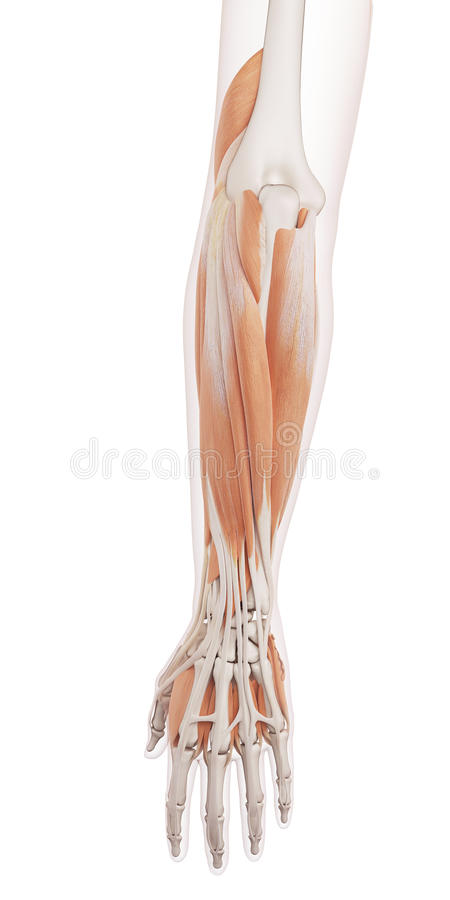 Die Muskeln des unteren Armes stock abbildung
