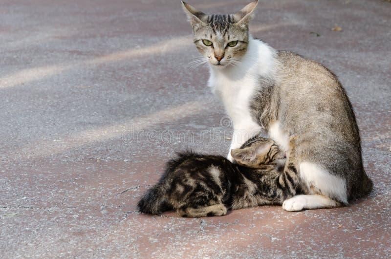 Die Mutterkatze säugt ihr Kätzchen stockbilder