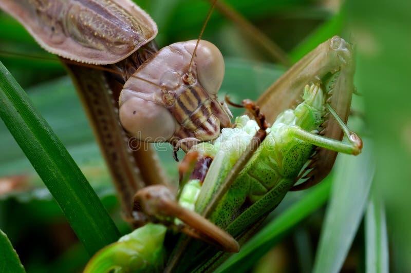 Die Nahrung des betenden Mantiss stockfotos