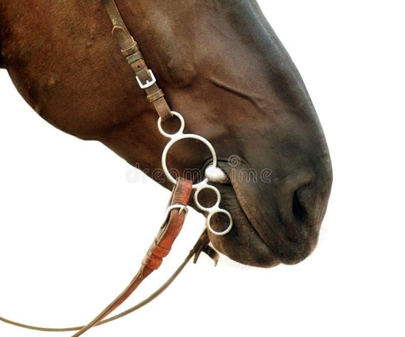 Die Nase des Nahaufnahme lokalisiertes Pferds auf einem weißen Hintergrund mit einem harne stockbild