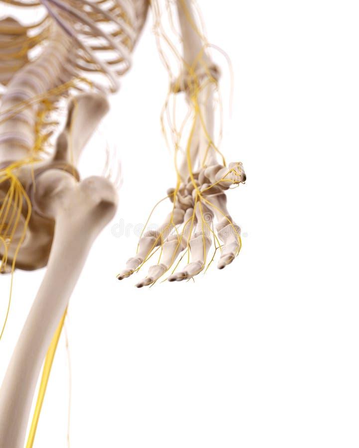 Die Nerven der Hand stock abbildung. Illustration von d0 - 56998539