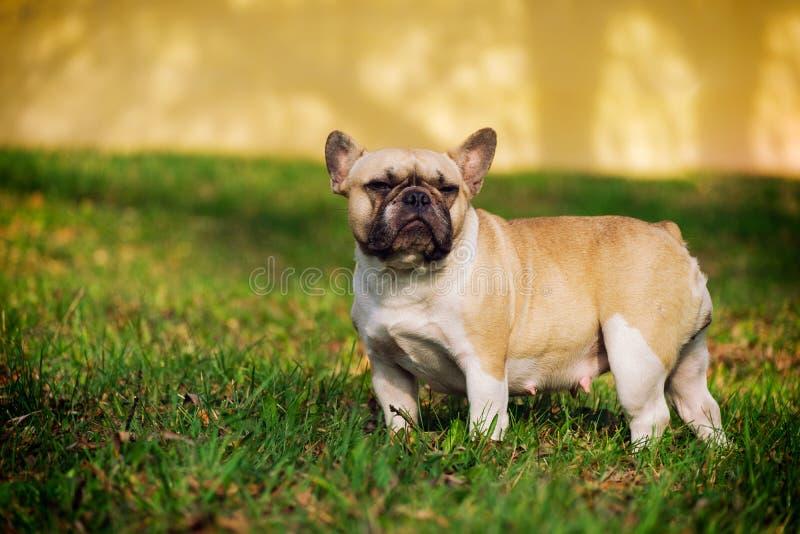Die nette französische Bulldogge stockbild