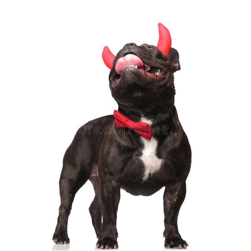 Die nette stilvolle französische Bulldogge, die als der Teufel gekleidet wird, schaut oben lizenzfreies stockfoto