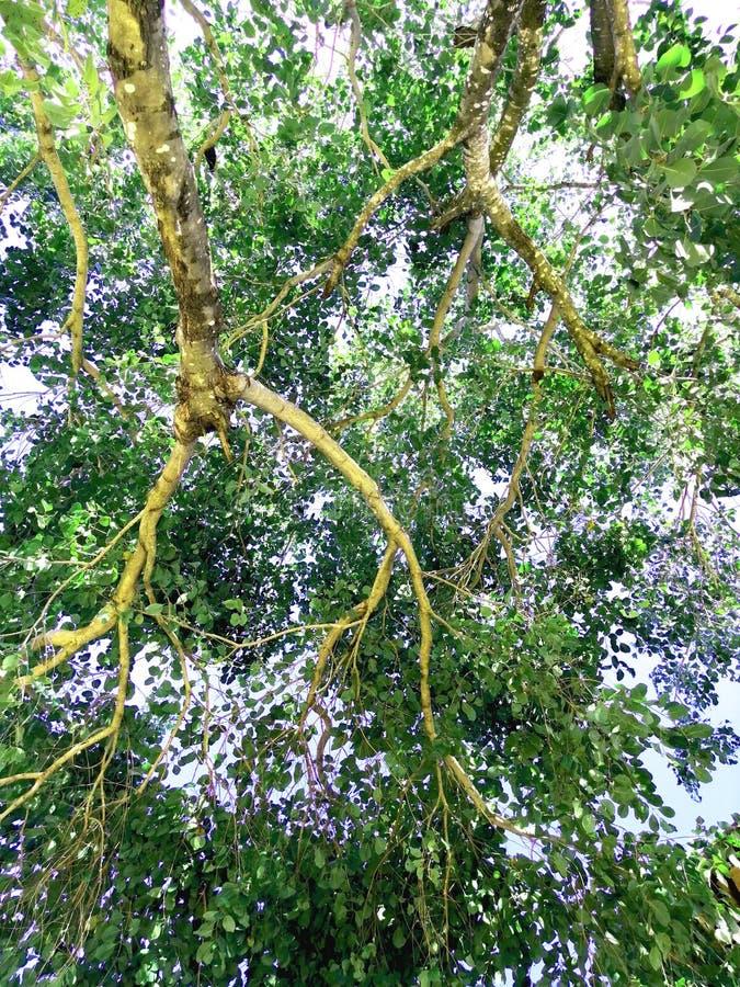 Die Niederlassung des riesigen Baums stockfoto