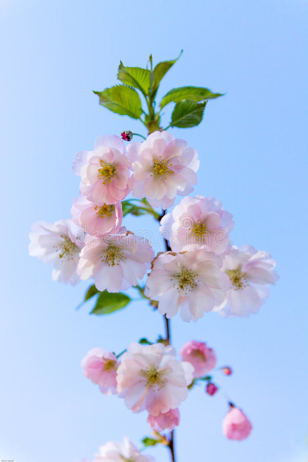 Die Niederlassung von Kirschblüten gegen einen Hintergrund des blauen Himmels Blumen stockbilder