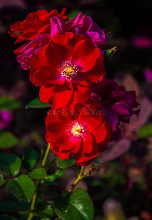 Die Niederlassung von roten Rosen in der Blüte auf einem dunklen Hintergrund stockbild