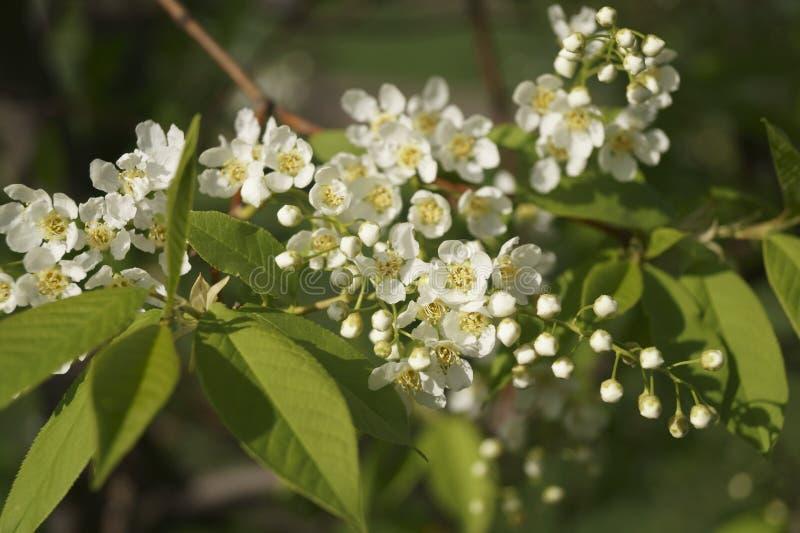 Die Niederlassung von weißen Blumen lizenzfreies stockbild