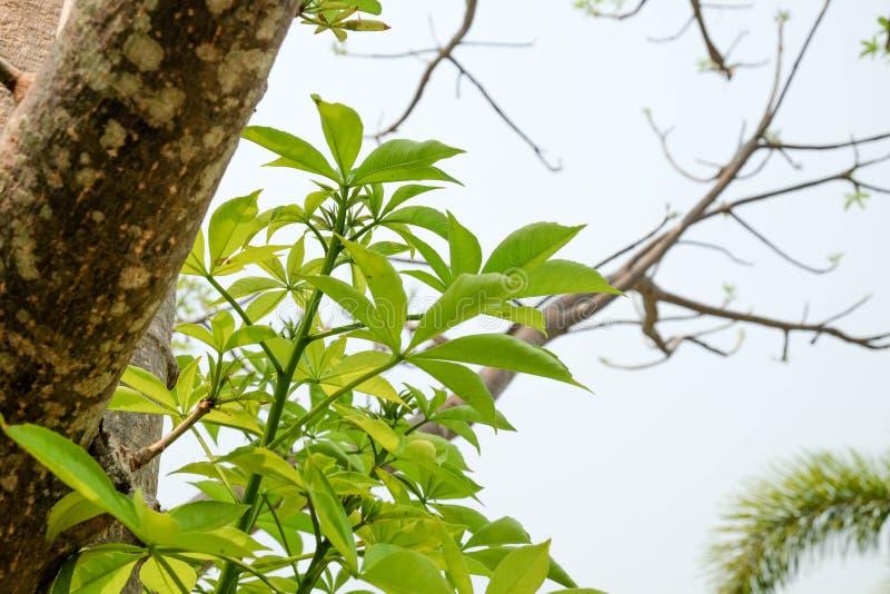 Die Niederlassungen des Baobabbaums lizenzfreie stockfotos