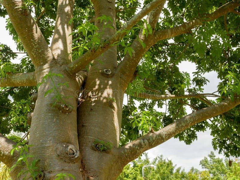 Die Niederlassungen des Baobabbaums stockfoto