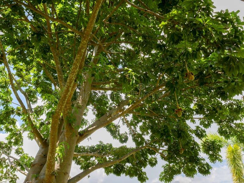 Die Niederlassungen des Baobabbaums lizenzfreies stockfoto