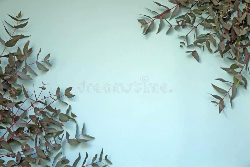 Die Niederlassungen des Eukalyptusbaums auf Türkishintergrund stockfotos