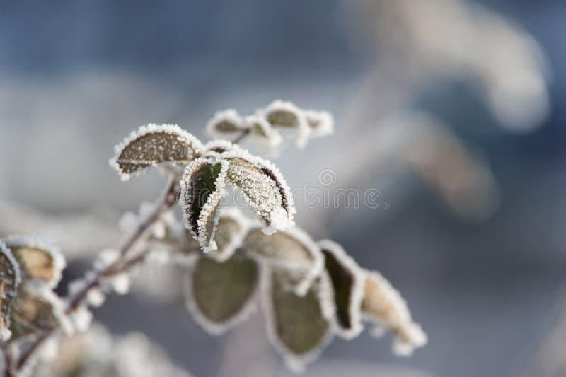 Die Niederlassungen, die mit Reif umfasst werden, treiben Blätter, gefrieren und schneien lizenzfreie stockbilder