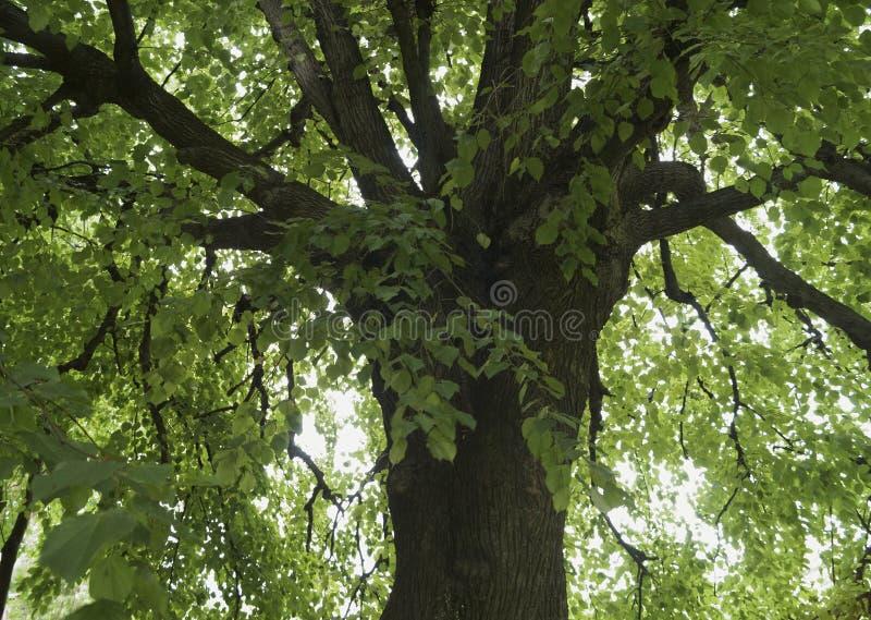 Die Niederlassungen eines alten Limettenbaums lizenzfreie stockbilder