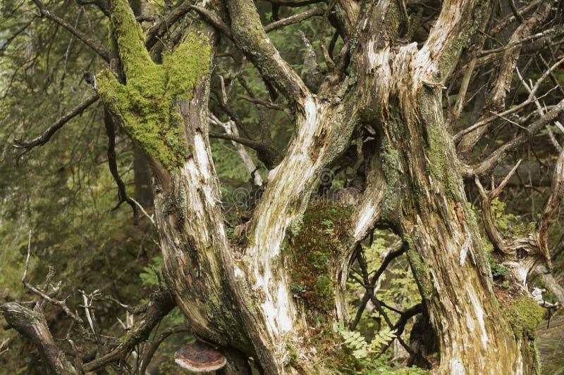 Die Niederlassungen eines alten moosigen gefallenen Baums im Wald stockbild