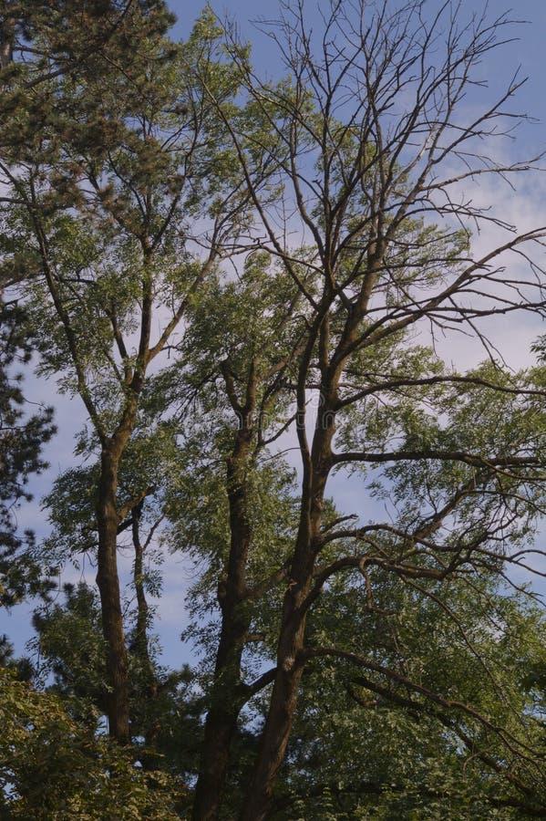 Die Niederlassungen eines Baums auf einem Hintergrund des blauen Himmels stockbild