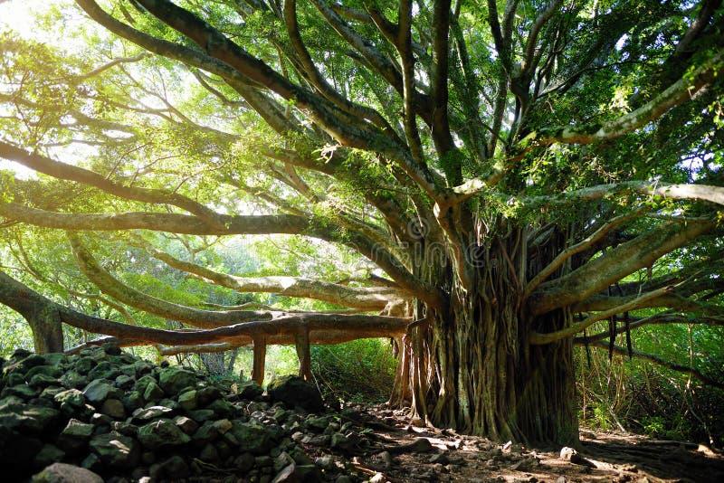 Die Niederlassungen und hängende Wurzeln des riesigen Banyanbaumes wachsend auf berühmtem Pipiwai schleppen auf Maui, Hawaii stockfotos