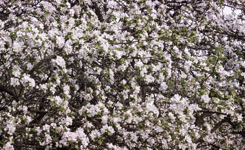 Die Niederlassungen von Apfelbäumen, ausgiebig umfasst mit weißer Blume stockbilder