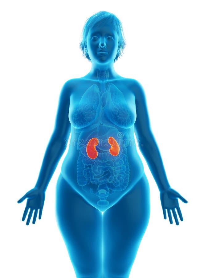Die Nieren einer beleibten Frau lizenzfreie abbildung