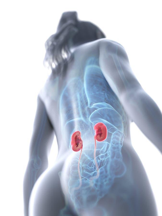 Die Nieren einer Frau stock abbildung