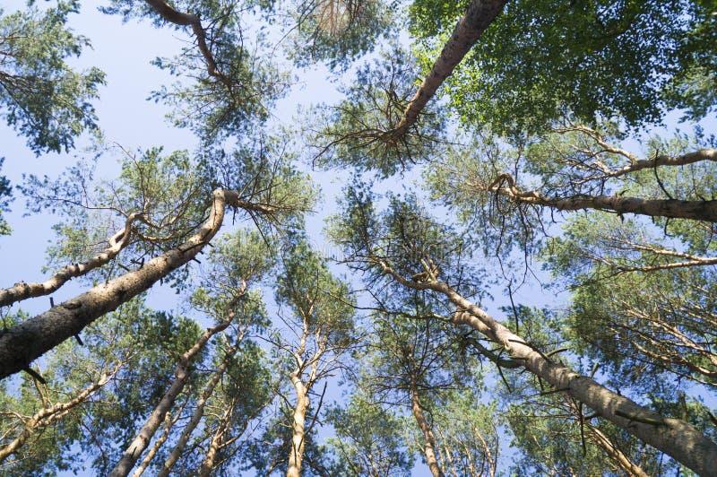 Die Oberteile der Kiefern gegen den blauen Himmel lizenzfreie stockfotos