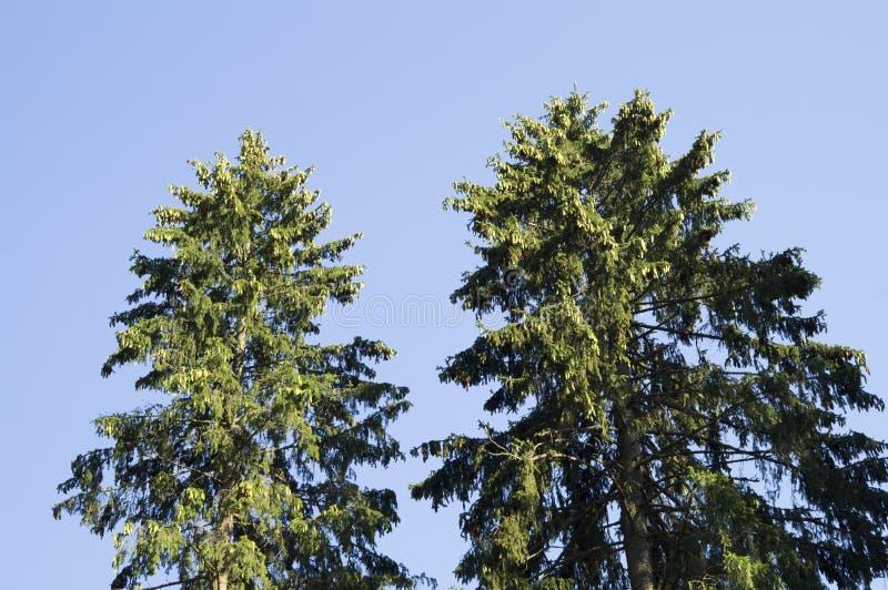 Die Oberteile der Kiefern gegen den blauen Himmel stockbild